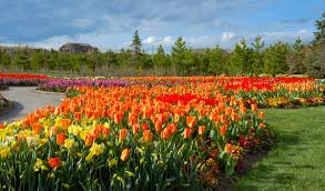 tulip festival in bloom at thanksgiving point
