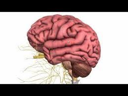 Sheep Brain Anatomy Game Interactive Brain Anatomy Quiz Human Diagram Structures Test