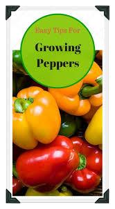 best 25 growing peppers ideas on pinterest growing vegetables