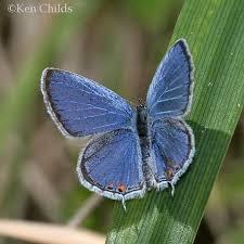 eastern tailed blue cupido comyntas godart 1824 butterflies