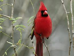 stylist view north american male cardinal birds wallpaper
