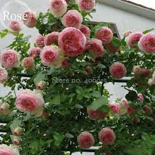 Fragrant Climbing Plant - light write picture more detailed picture about mixed 4 types of