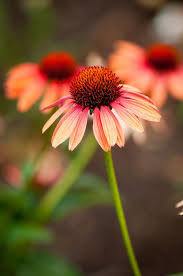 Echinacea Flower 74 Best Echinacea Flowers And Tattoos Images On Pinterest Flower