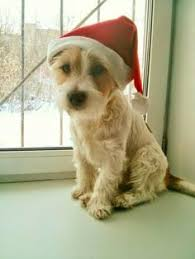 haircut ideas for long hair jack russell dogs mies the jack russell mix adorable he looks like my laci did when