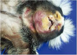 veterinary sciences free full text non human primate models of