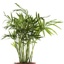 growing palms indoors u2013 learn about bamboo palm care