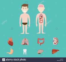 Human Anatomy Liver And Kidneys Human Anatomy Organ Heart Lunge Kidney Brain Tooth Gastric Liver