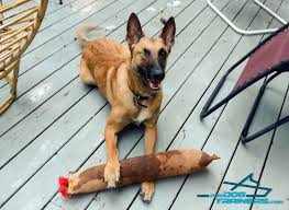 belgian shepherd how to train argo playing with huge leather bite tug with 2 handles for belgian