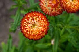 straw flowers helichrysum or straw flower in outdoor garden straw flowers