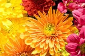 Flowers Information - chrysanthemum information from flowers org uk