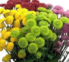 Yellow Pom Pom Flowers - button poms chrysanthemum flowers succulents pinterest