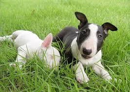 affenpinscher breeders texas mini bull terrier puppies texas dog breeds puppies mini bull
