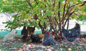 4 benefits of a mixed flock of backyard chickens
