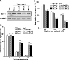 Small H by Oncogenic H Ras Up Regulates Expression Of Ercc1 To Protect Cells