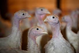 farm fresh thanksgiving dinners toronto u0027s fresh from the farm brings tender turkeys to the table