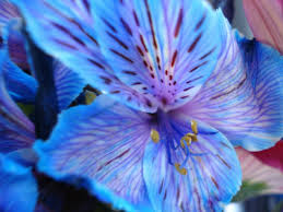 blue and purple flowers search blue and purple