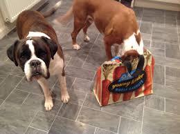 bulldog y boxer archie u0026 alfie archiealfie twitter