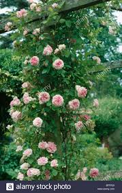 close up of pale pink climbing rose on wooden pergola stock photo