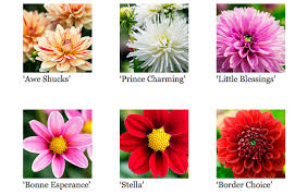 wedding flowers meaning dahlia flower meaning fiori idea immagine