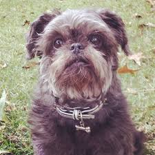 affenpinscher star wars which breeds of dog look like the ewoks from star wars quora