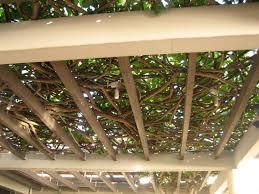 climbing vines pergola ideas for shade 2569 hostelgarden net