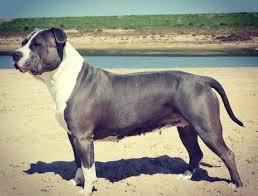 ira lexus denver giant bully pitbull blue ivy dbg pitpedia