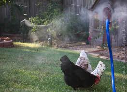 how to keep chickens cool in the summer backyard chickens