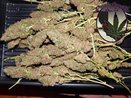 wedding cake genetics purple caper seeds purplecaper