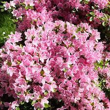 Pink Spring Flowering Shrubs - fast growing shrubs u0026 hedge plants fast growing trees