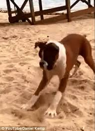 boxer dog meme youtube viewers go crazy for reaction of boxer dog after he eats a