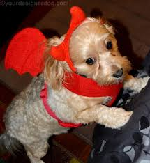 Halloween Costumes Yorkies Devil Yourdesignerdog