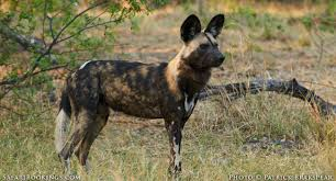 safari ltd african wild dog 10 best places to see wild dog on safari safaribookings