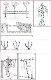 museo galileo vinum image models of vine training systems