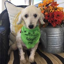 Dogs For The Blind Adoption Poodle And Pooch Rescue Has Small Dogs For Adoption In Florida