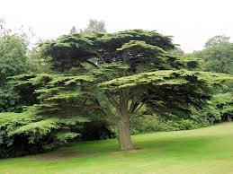 file cedar tree 7853418286 jpg wikimedia commons
