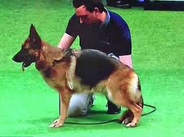belgian sheepdog vs german shepherd crufts 2016 german shepherd best of breed owner responds to