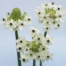 light up star of bethlehem terrific star of bethlehem white flower stylish the that lights up
