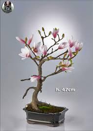 ray nesci bonsai nursery home training southern magnolia for bonsai information