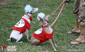 Boxer Puppy Halloween Costumes 38 Italian Greyhound Halloween Costumes Romp Italian Greyhound Rescue