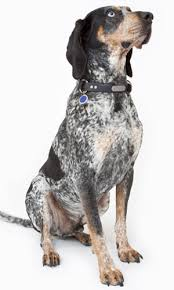 bluetick coonhound owners bluetick coonhound grooming bathing and care espree animal products
