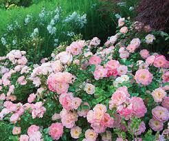 drift roses sweet drift pink bcmgva org