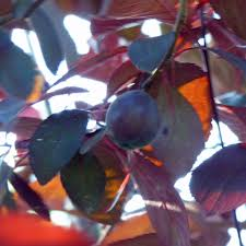 ornamental tree has fruit is fruit from ornamental trees to eat
