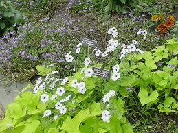 sweet potato vine auntie dogma s garden spot