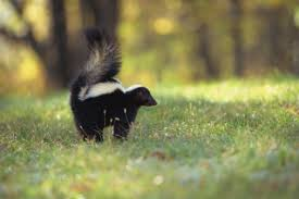 How To Get Rid Of A Skunk In Your Backyard How Can We Get Rid Of A Skunk That Comes In Our Yard Every Night