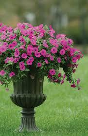 Fertilizer For Flowering Shrubs - flowering annuals for your long island garden flowering annual