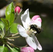 bees in your backyard spring pollination with gentle orchard