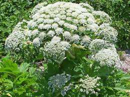 giant hogweed what the toxic plant does to humans what it looks