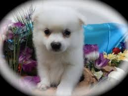 american eskimo dog toy for sale view ad american eskimo dog toy puppy for sale illinois