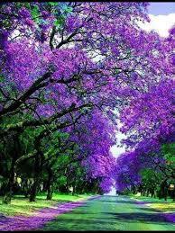 135 best jacaranda trees images on jacaranda trees