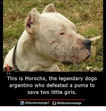 Puma Meme - this is morocho the legendary dogo argentino who defeated a puma to
